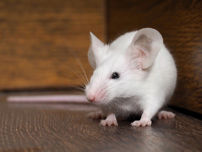 Rat Removal Cost Spring TX